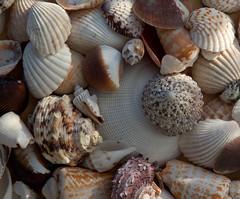 animal(0.0), sea snail(0.0), food(0.0), escargot(0.0), clam(1.0), molluscs(1.0), seashell(1.0), cockle(1.0), conch(1.0),