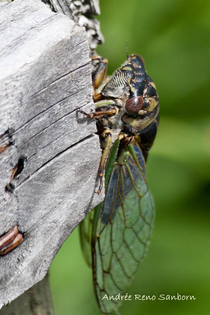 Dog-day Cicada (Tibicen canicularis)-16.jpg