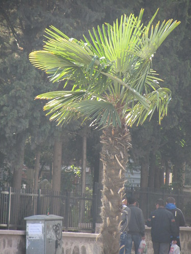 Balikesir: Palm tree