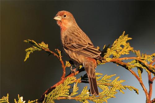 washington washingtonstate housefinch everett carpodacusmexicanus washingtonusa nickdean nspp thewonderfulworldofbirds southeverett howardsgallery haemorhousmexicanus nickdean1