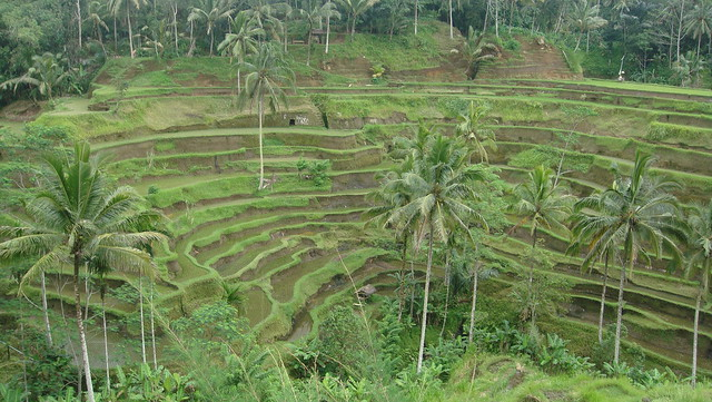 Tegallalang Rice Terraces, Ubud, Bali, Indonesia 印尼 峇里島 德哥拉朗梯田
