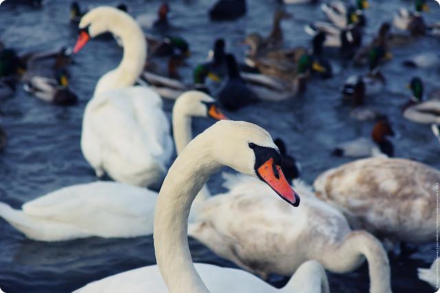 swans-10