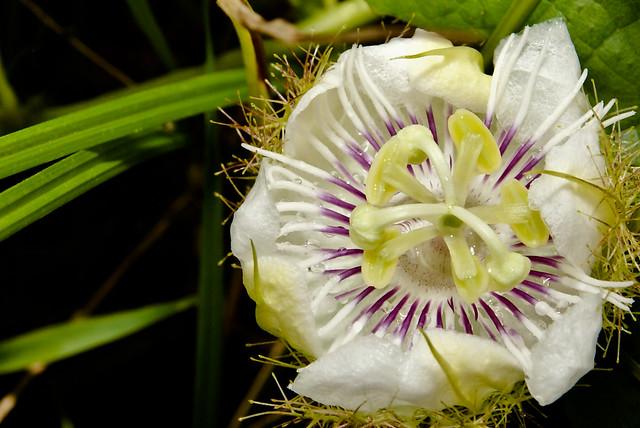 bunga cepak