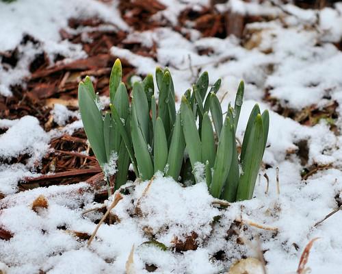 Daffodil Sprouts DSC_0115