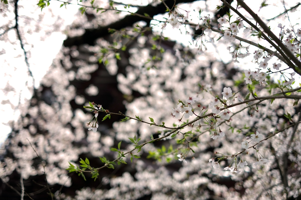 A closer look at the Cherry Blossoms