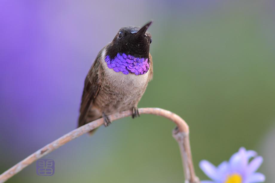 Black-Chinned-Hummingbird-040414
