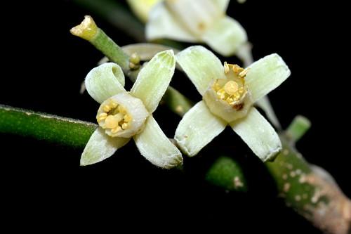 Dysoxylum latifolium DSC_0552 (6)