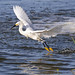 A snowy egret snags a minnow for breakfast.