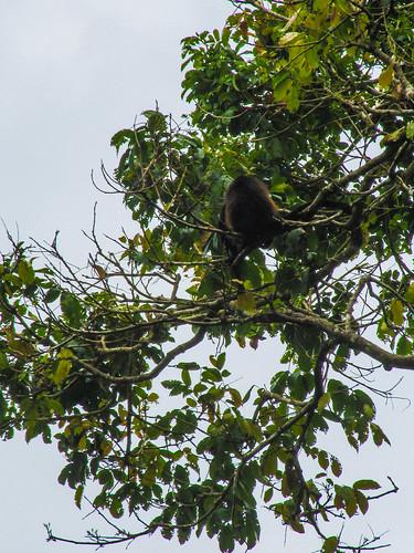 Parc National de Cahuita: un singe-araignée