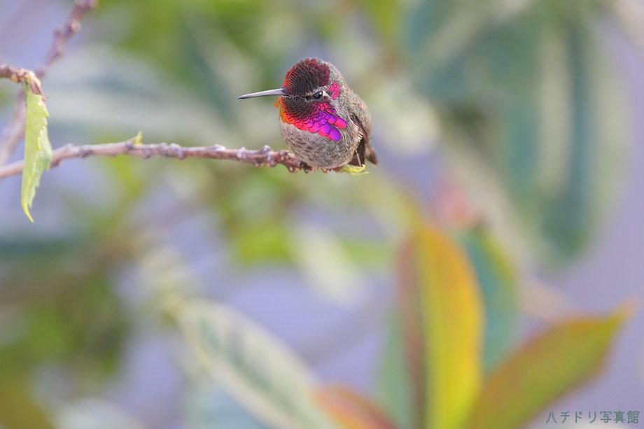 Anna's Hummingbird 112211-6
