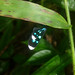 Small photo of Napata quadristrigata. Arctiidae. Ctenuchinae.