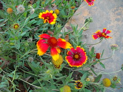 Firewheel flowers
