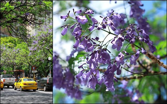 Jacarandaes en flor