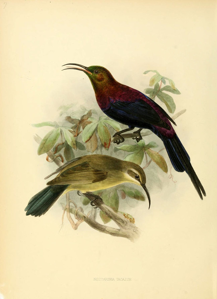 coloured litho of Tacazze Sunbird