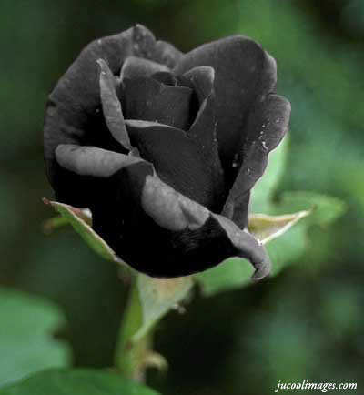 Real black roses :) | Flickr - Photo Sharing!