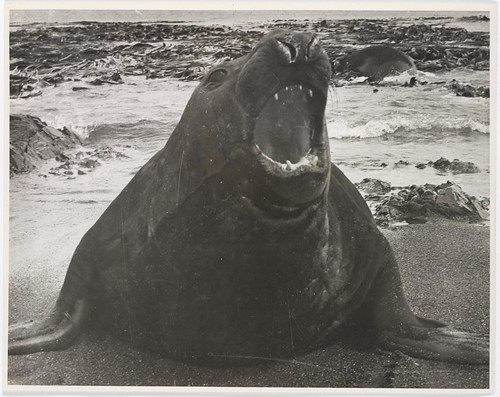 Macquarie Island, 1955. Elephant seal bull