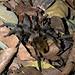 Tarantula, Chaparri Lodge (David Allison)
