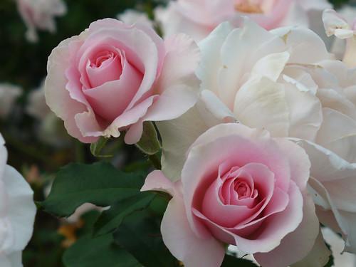 白とピンクがとても優雅な薔薇