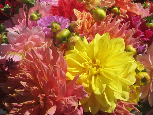 Yellow and Pink Dahlia Flowers