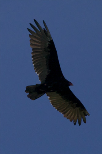 Turkey Vulture (Cathartes aura) | by Powerkey