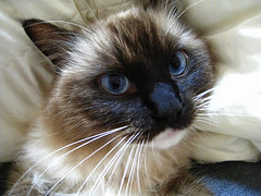 domestic long-haired cat, nose, animal, siamese, small to medium-sized cats, pet, snout, ragdoll, thai, tonkinese, close-up, cat, carnivoran, whiskers, balinese, birman, himalayan,