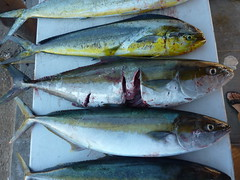 mackerel(0.0), perch(0.0), cod(0.0), forage fish(0.0), tilefish(0.0), bonito(0.0), barramundi(0.0), sardine(0.0), animal(1.0), fish(1.0), japanese amberjack(1.0), yellowtail amberjack(1.0), fish(1.0), oily fish(1.0), milkfish(1.0),