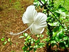 IMG_0418  White Hibiscus
