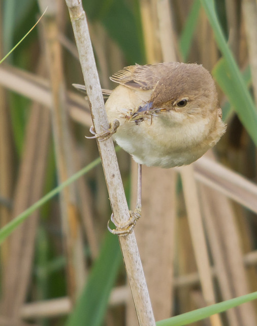 Reed Warblers And Nest Uk Wildlife