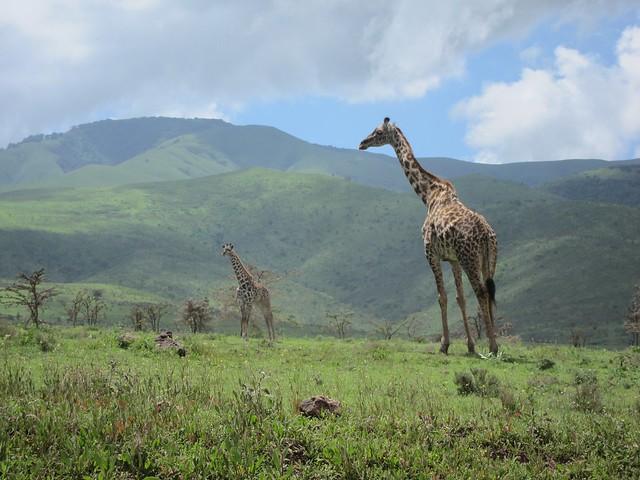 Giraffes at Ngorongoro Crater, Tanzania