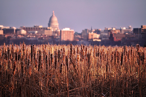 Wisconsin Capitol Floating in the Cattails