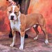 "MIRACLE  ""MIRA"" CGC   UKC GR.CH. PR' BUENOS AIRES PUBLIC ENNEMY #1 OF CAPONE ""NALDO"""