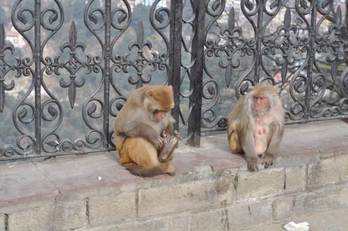 Monkeys in Shimla