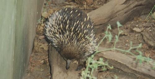 Echidna, Bateman's Bay, NSW