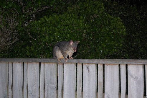 Our night time visitor (a possum)