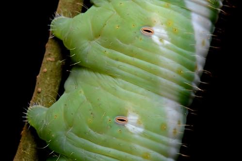 Spiracles Sphingidae Neococytius Cluentius Geoff