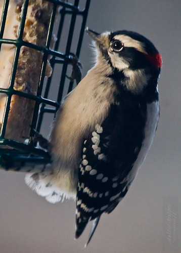 Male Downy Woodpecker by Shiny Dewdrop
