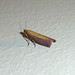 Small photo of Oncocera semirubella