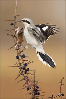 The Shrewd Shrike