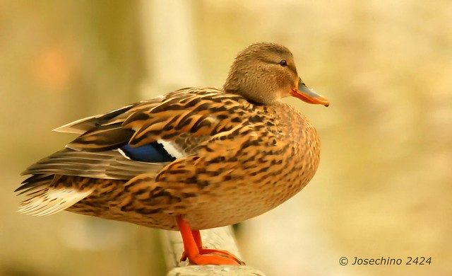 La pose del pato