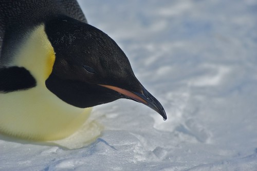 Emperor Penguin Close by Flotsammy