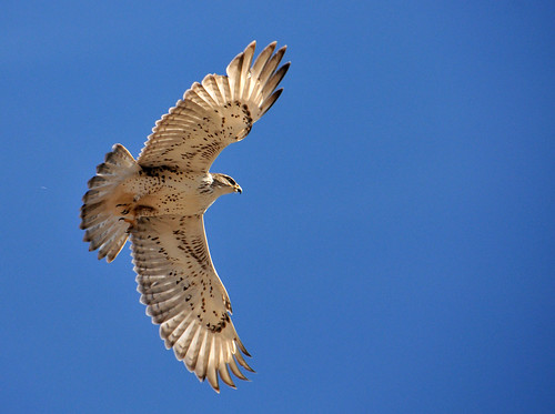 ferruginous hawk wings spread in air