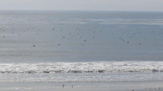 MVI_0304 many grebes offshore
