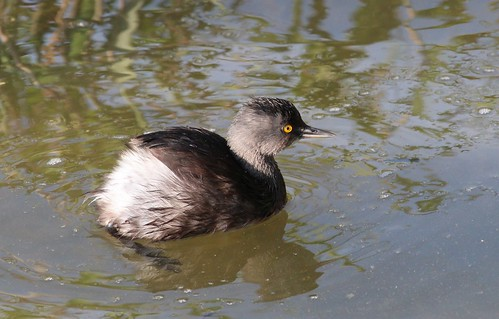 Least grebe by ricmcarthur