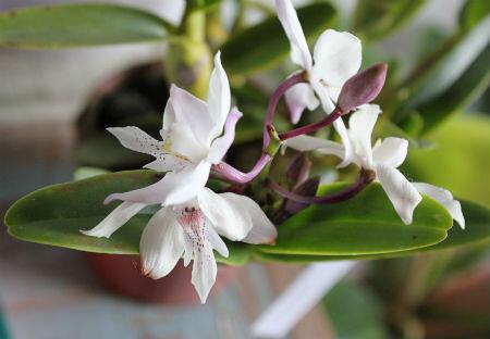 Caularthon bicornutum