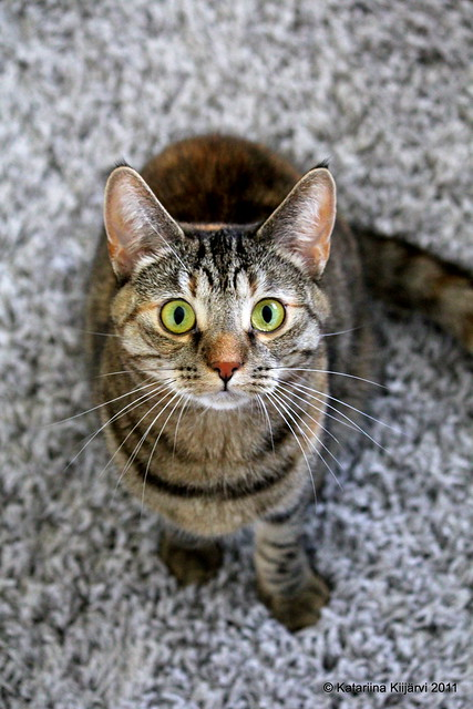 European Shorthair Cat Pictures And Information Cat
