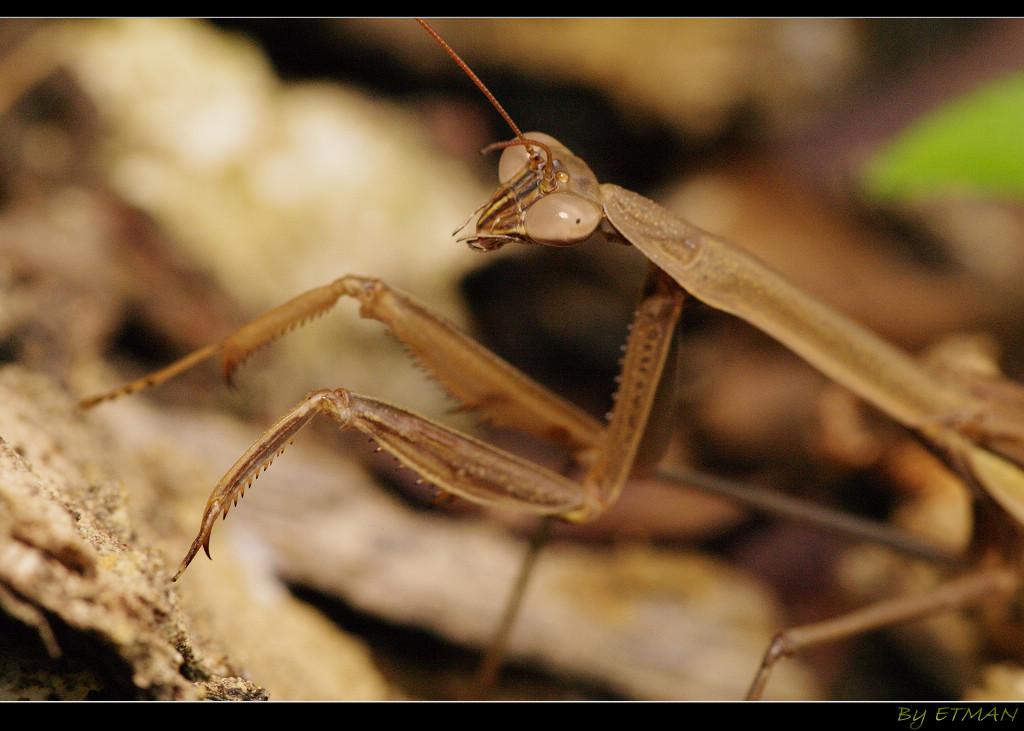 -- 螳螂 - 拜年-- (泰山生態溪 隨拍)