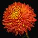 Indian Summer Chrysanthemum by ChristopherLeeHewitt
