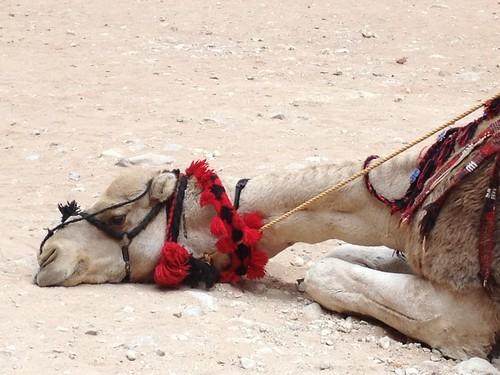 Christmas Camel at Petra