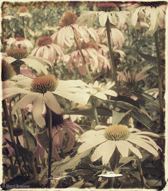 Polaroid Daisies