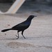 Carib Grackle looking for food